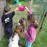Le mois de juillet à la Ferme de Min Guen en bretagne dans les côtes d'armor - nourrir les animaux